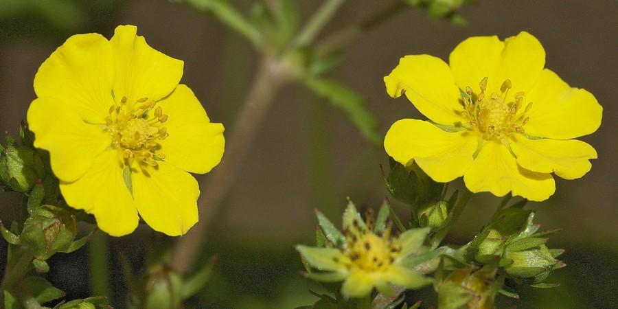 オニベビイチゴの花(可視光)